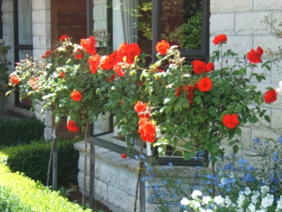 Warrior Roses in front of the house