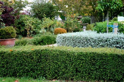 Lonicera nitida with Teucrium fruticans hedges